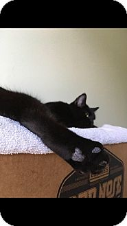 American Shorthair Cat for adoption in Atlantic, North Carolina - Sheba