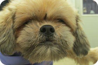 Shih Tzu Mix Dog for adoption in Reed City, Michigan - AMERETTO