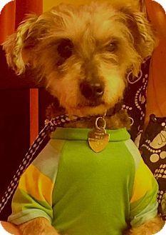 Schnauzer (Standard)/Schnauzer (Miniature) Mix Dog for adoption in Santa Monica, California - CHESTER