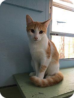 Calico Cat for adoption in Savannah, Georgia - Sears