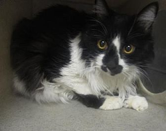Domestic Shorthair Cat for adoption in Reno, Nevada - Charisse