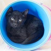 Adopt A Pet :: Chich - Oviedo, FL