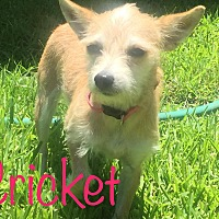 Terrier (Unknown Type, Small) Mix Puppy for adoption in Austin, Texas - Cricket