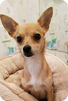Chihuahua Dog for adoption in Durham, North Carolina - Rita