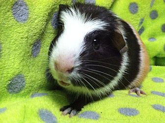 Guinea Pig for adoption in Coral Springs, Florida - Pooka