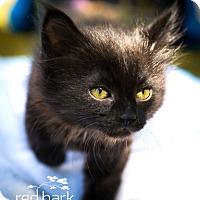 Adopt A Pet :: Pinot - Vancouver, BC