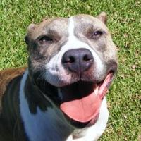 American Pit Bull Terrier Mix Dog for adoption in New Bern, North Carolina - Genesis