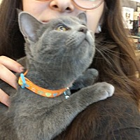 Russian Blue Kitten for adoption in Maryville, Tennessee - Shy Baby & Streak