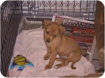 Chihuahua Mix Puppy for adoption in Stockton, Missouri - Roo
