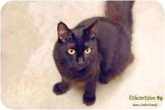 Norwegian Forest Cat Cat for adoption in San Diego, California - Gypsy