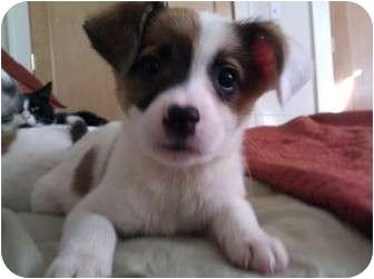 Beagle Mix Puppy for adoption in Hainesville, Illinois - Britney