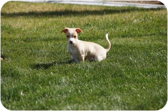 Jack Russell Terrier Mix Puppy for adoption in Tustin, California - Badger