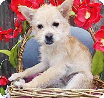 Pomeranian/Westie, West Highland White Terrier Mix Puppy for adoption in north hollywood, California - Jagger
