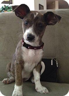 Dachshund/Australian Shepherd Mix Puppy for adoption in Naperville, Illinois - Gretta