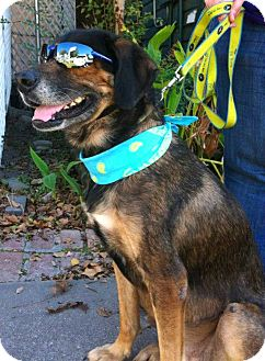 German Shepherd Dog/Shepherd (Unknown Type) Mix Dog for adoption in Houston, Texas - Mercedes