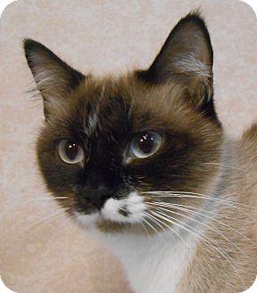 Siamese Cat for adoption in Murphysboro, Illinois - Salena
