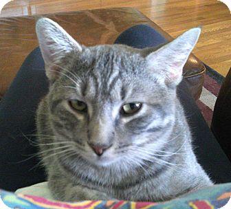 Domestic Shorthair Kitten for adoption in Bentonville, Arkansas - Max