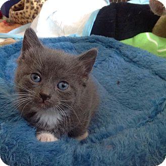 Domestic Shorthair Kitten for adoption in Chicago, Illinois - Ike