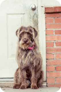 Wirehaired Pointing Griffon/Australian Shepherd Mix Dog for adoption in Norwalk, Connecticut - Carina