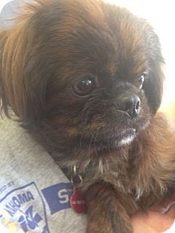 Pekingese Mix Dog for adoption in Oklahoma City, Oklahoma - Tango