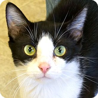 Domestic Shorthair Cat for adoption in Sprakers, New York - Cassie