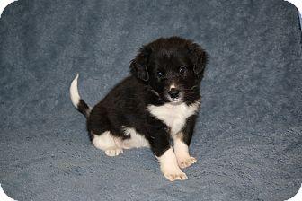 Australian Shepherd/Shepherd (Unknown Type) Mix Puppy for adoption in West Milford, New Jersey - VENUS