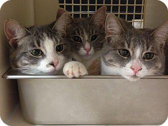 Domestic Shorthair Kitten for adoption in Warren, Michigan - Conner