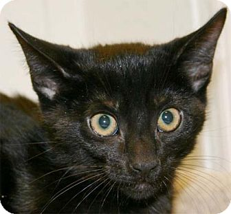 Domestic Shorthair Kitten for adoption in Salem, Oregon - Pete (shelter)