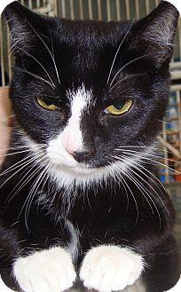 Domestic Shorthair Cat for adoption in Elmira, New York - Abigail