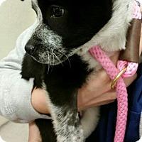 Adopt A Pet :: Hugo - 10 week old puppy - Phoenix, AZ