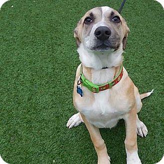 German Shepherd Dog Mix Puppy for adoption in Denver, Colorado - Jackson