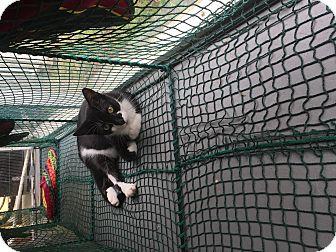 Domestic Shorthair Cat for adoption in Boca Raton, Florida - Dustin