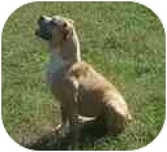 Boxer Dog for adoption in Brentwood, Tennessee - Hannah