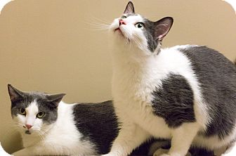 Domestic Shorthair Cat for adoption in Chicago, Illinois - Brothers Elwood and Hank