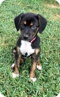 Catahoula Leopard Dog/Shepherd (Unknown Type) Mix Puppy for adoption in San Francisco, California - Olivia