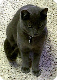 Russian Blue Cat for adoption in Walnut Creek, California - Ma Petite