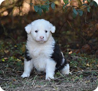 English Setter Mix Puppy for adoption in Groton, Massachusetts - Falcor