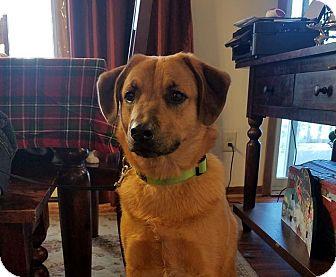 Golden Retriever/Shepherd (Unknown Type) Mix Dog for adoption in Minot, North Dakota - Hammy