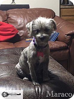 Terrier (Unknown Type, Medium) Mix Dog for adoption in DeForest, Wisconsin - Maraco