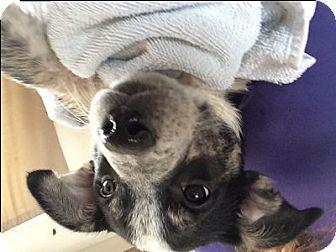 Labrador Retriever Mix Puppy for adoption in Evergreen, Colorado - Zircon
