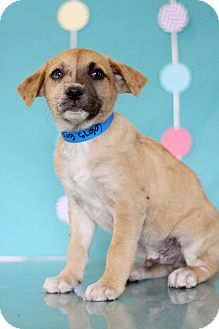 Catahoula Leopard Dog Mix Puppy for adoption in Waldorf, Maryland - Gray
