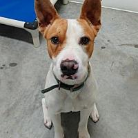 Adopt A Pet :: Dozier - Mountain View, AR