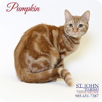 Domestic Shorthair Cat for adoption in Laplace, Louisiana - Pumpkin