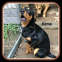 Adopt A Pet :: XENA - Malvern, AR