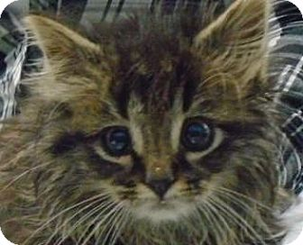 Maine Coon Kitten for adoption in Ypsilanti, Michigan - Cagney