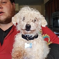 Havanese Mix Dog for adoption in DAYTON, Ohio - Kaplan