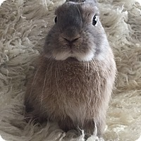 Netherland Dwarf Mix for adoption in Watauga, Texas - Crumpet