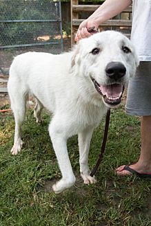 Great Pyrenees Dog for adoption in Spring, Texas - Linus