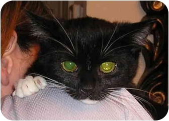 Domestic Shorthair Cat for adoption in Laurel, Maryland - Charlie