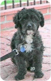 Maltese/Poodle (Miniature) Mix Dog for adoption in Poway, California - Kokis